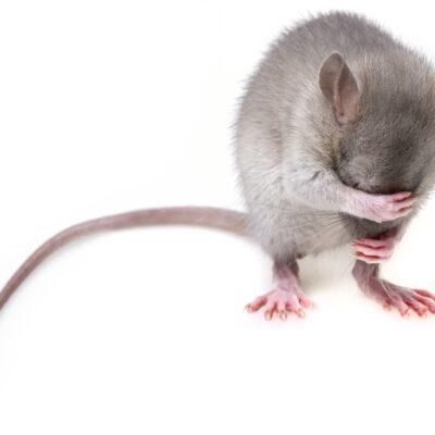 Fanger din kat mus?