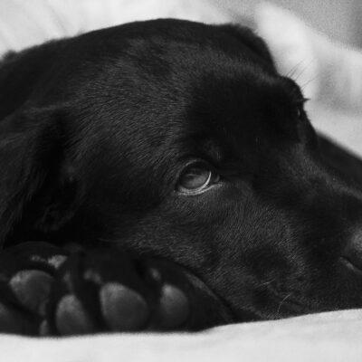 Må din hund få vindruer?